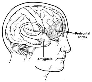 prefrontalcortexamygdala